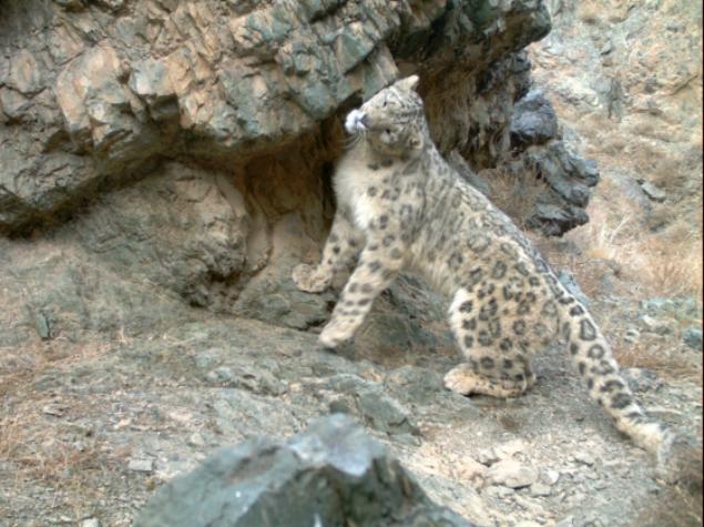 Snow Leopard Conservation Fdt.