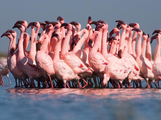 Lesser flamingos in courtship ritual