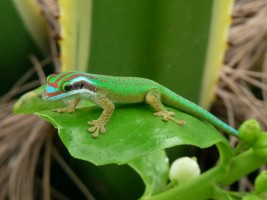 Male Manapany ornate day gecko © NOI