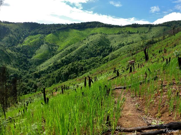 Parcelle de riz de montagne