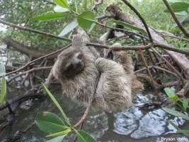 Pygmy three-toed sloth (Bradypus pygmaeus)