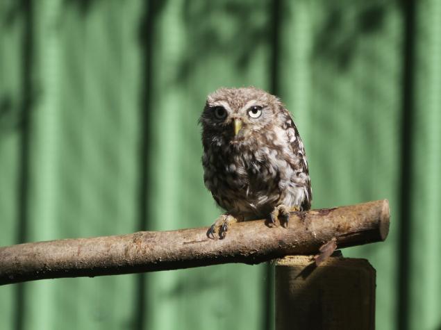 Little owl © La Dame Blanche