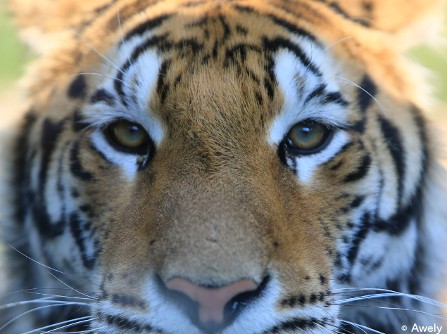 site de rencontre tiger)
