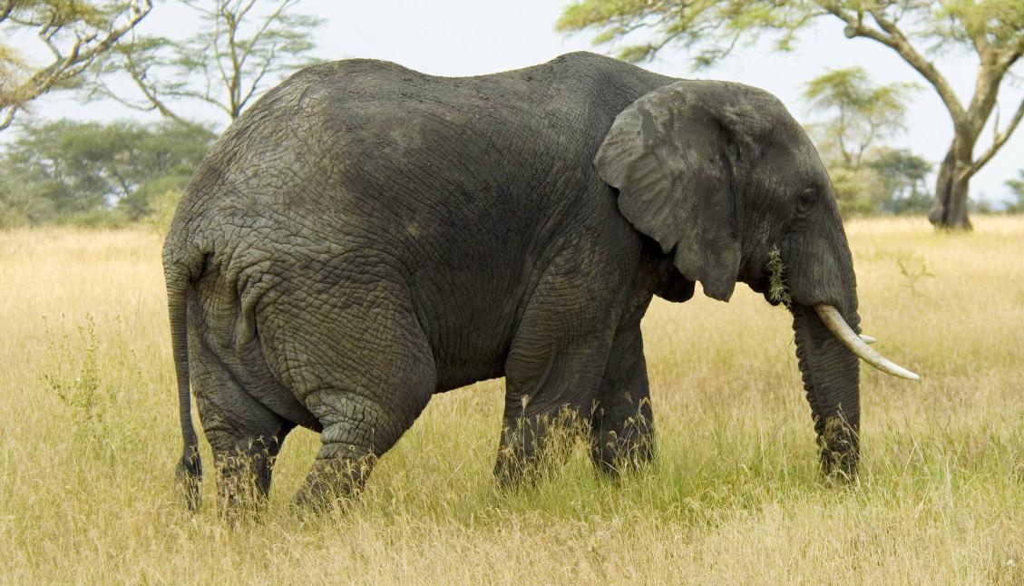 Elephant_FT2