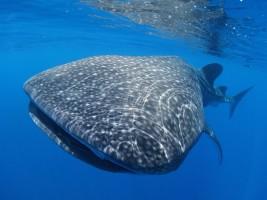 Whale shark © Rachel Graham/MarAlliance