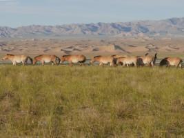 A stallion herd on the Seer reintroduction area