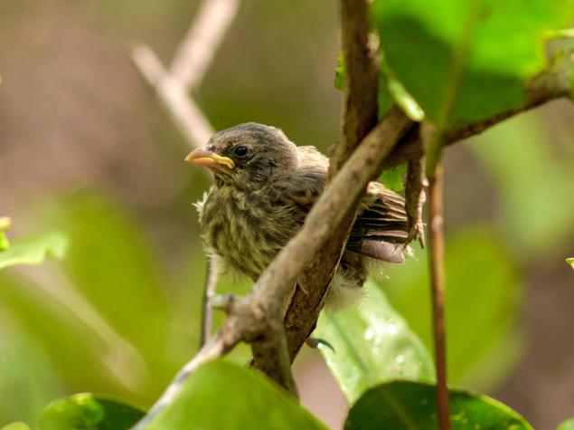 Mangrove finch © Juan Manuel García