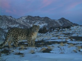 Snow leopard photographed by research camera, South Gobi (Mongolia) © Snow leopard conservation foundation