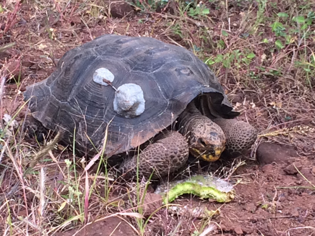 Santa Fe - Tortoise with radio telemetry © Wacho Tapia