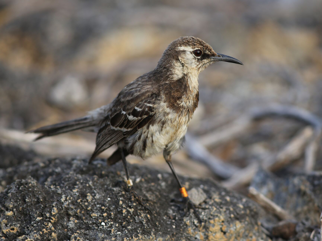 Floreana mockingbird© Dr. Ortiz-Catedral, Island Conservation