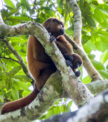Rehabilitation process and final translocation of a woolly monkey
