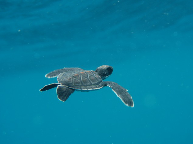 Juvenile green turtle (Chelonia mynas)