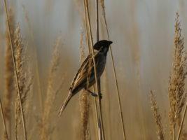 Reed bunting © B.Vollot