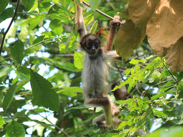 Brown spider monkey (Ateles hybridus)