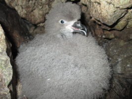 Chick of Black-capped Petrel within nest © Grupo Jaragua
