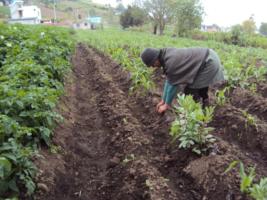 Vegetable planting