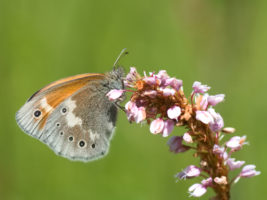 Large heath butterfly (Coenonympha tullia) © Mathilde Poussin