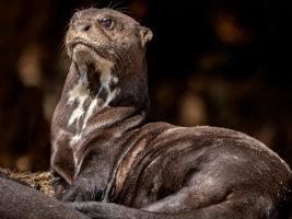 Giant Otter © Ann Fulcher