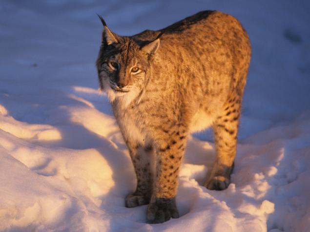 Lynx © Roland Clerc