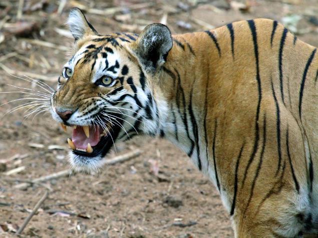 Tiger (c) Sanjay Karkare